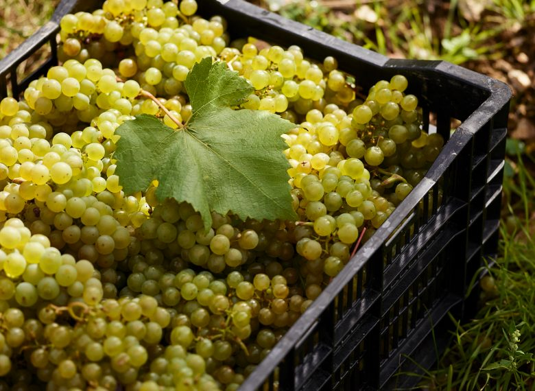 a crate of ripe chardonnay